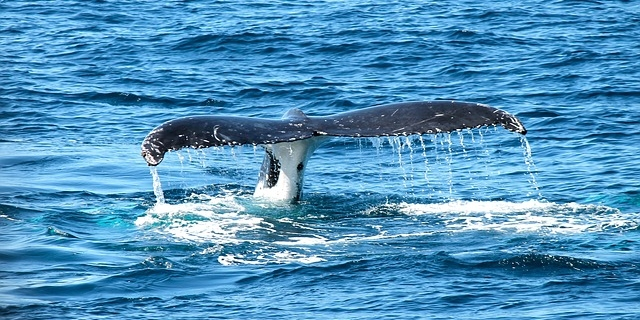 Whale and dolphin watching tenerife